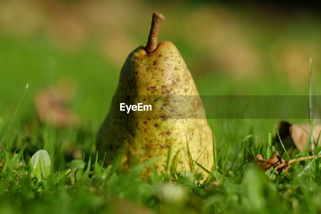 Close-up of pear on green grass