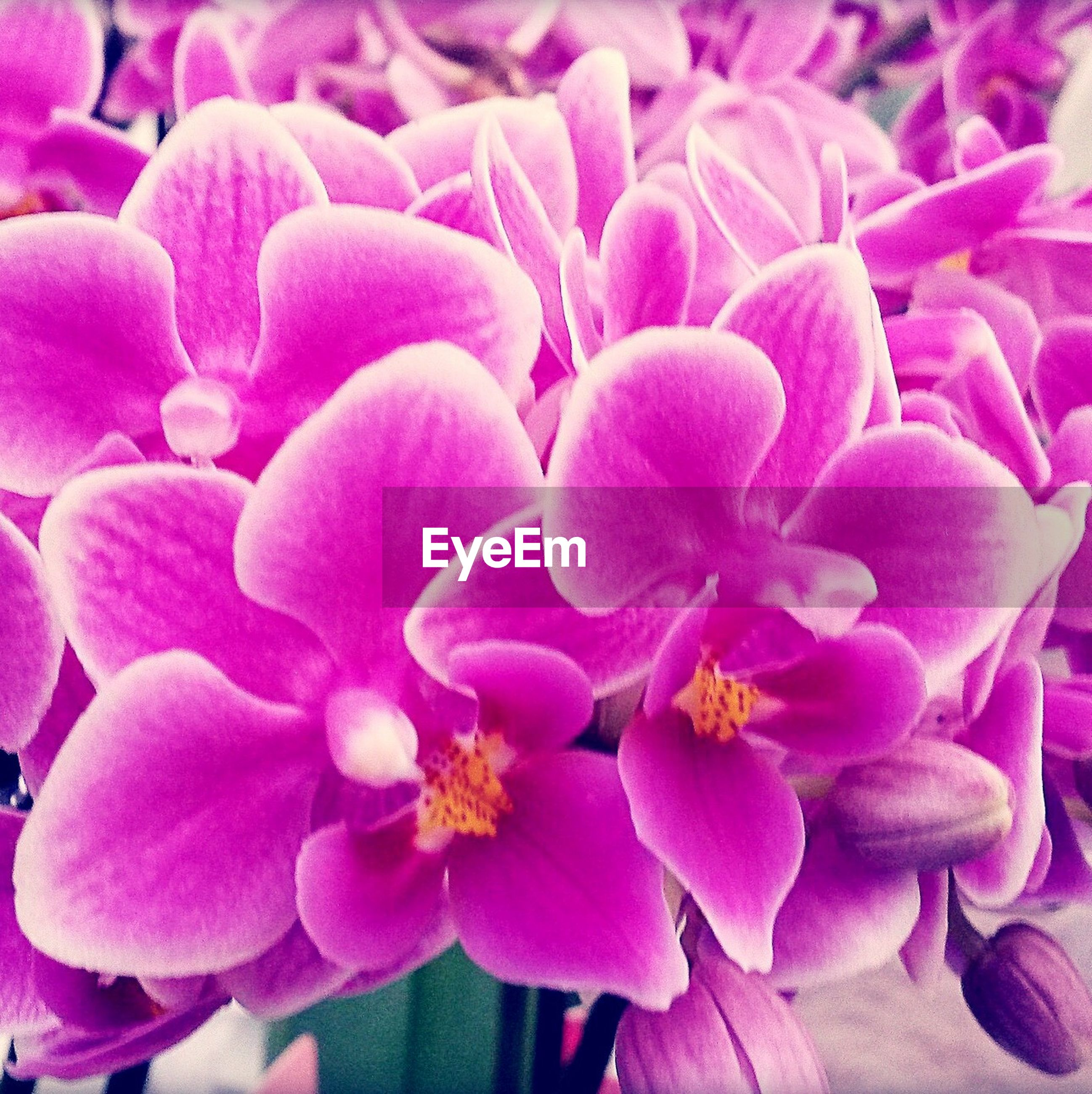 flower, freshness, petal, fragility, flower head, pink color, beauty in nature, growth, close-up, full frame, nature, backgrounds, pink, blooming, plant, purple, focus on foreground, no people, high angle view, day