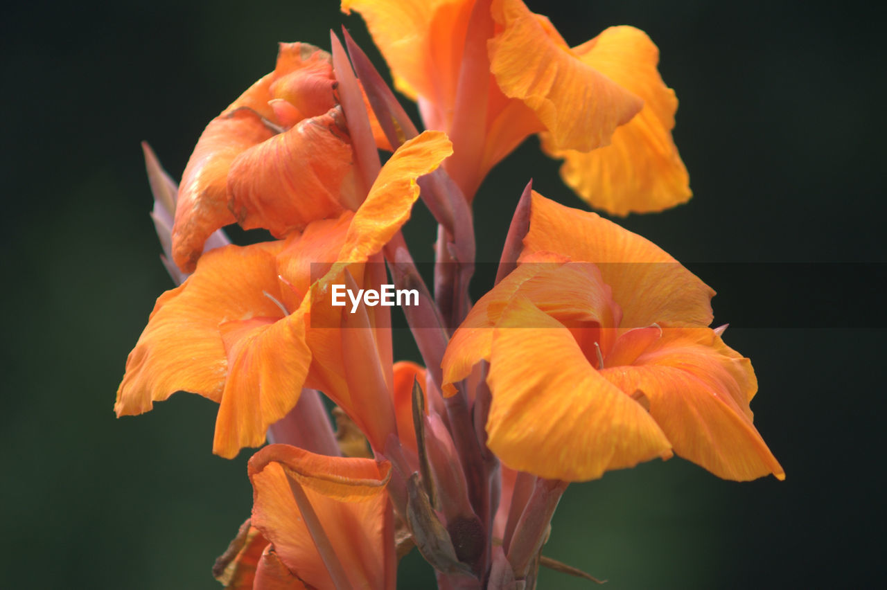petal, flower, orange color, fragility, flower head, beauty in nature, growth, freshness, plant, nature, no people, outdoors, close-up, blooming, day, day lily