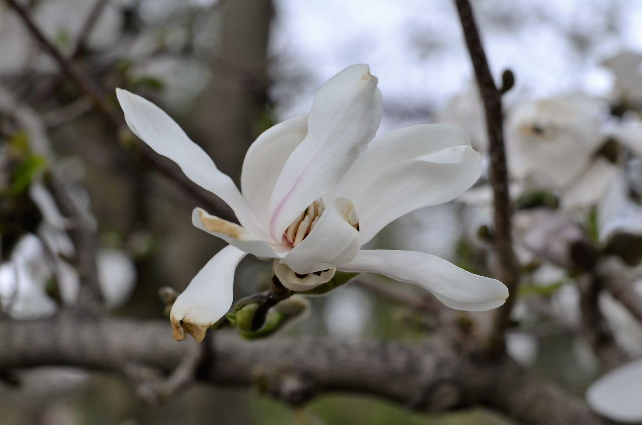 flower, white color, fragility, nature, growth, beauty in nature, blossom, petal, freshness, tree, branch, springtime, botany, magnolia, flower head, apple blossom, no people, close-up, day, selective focus, outdoors, stamen, blooming