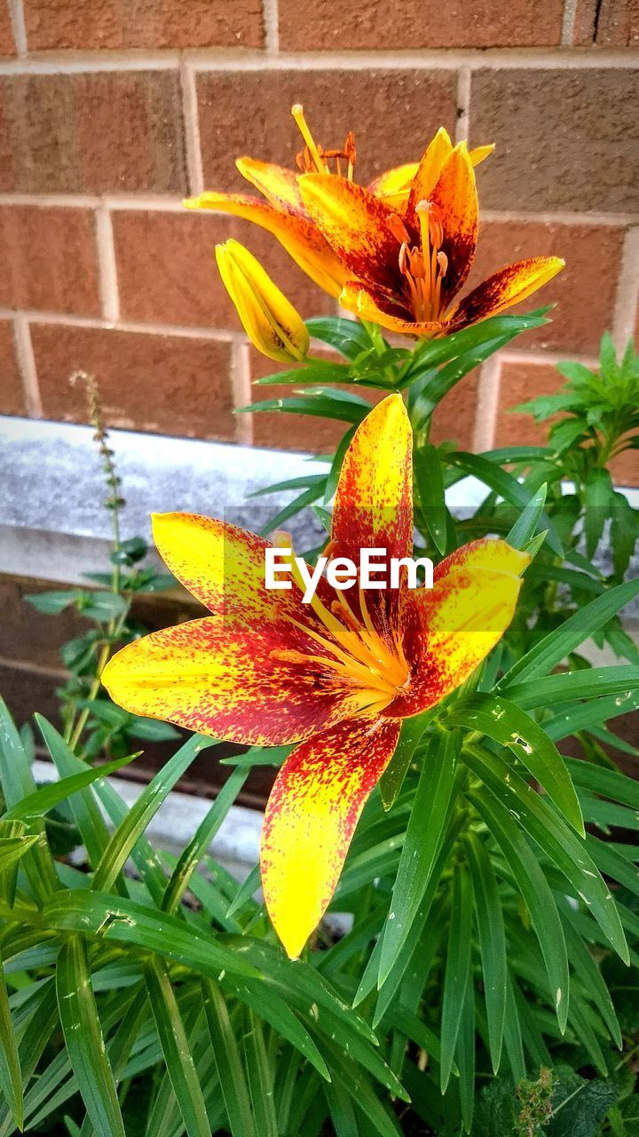 flower, growth, freshness, petal, nature, fragility, leaf, flower head, beauty in nature, plant, outdoors, day, green color, blooming, no people, close-up, day lily