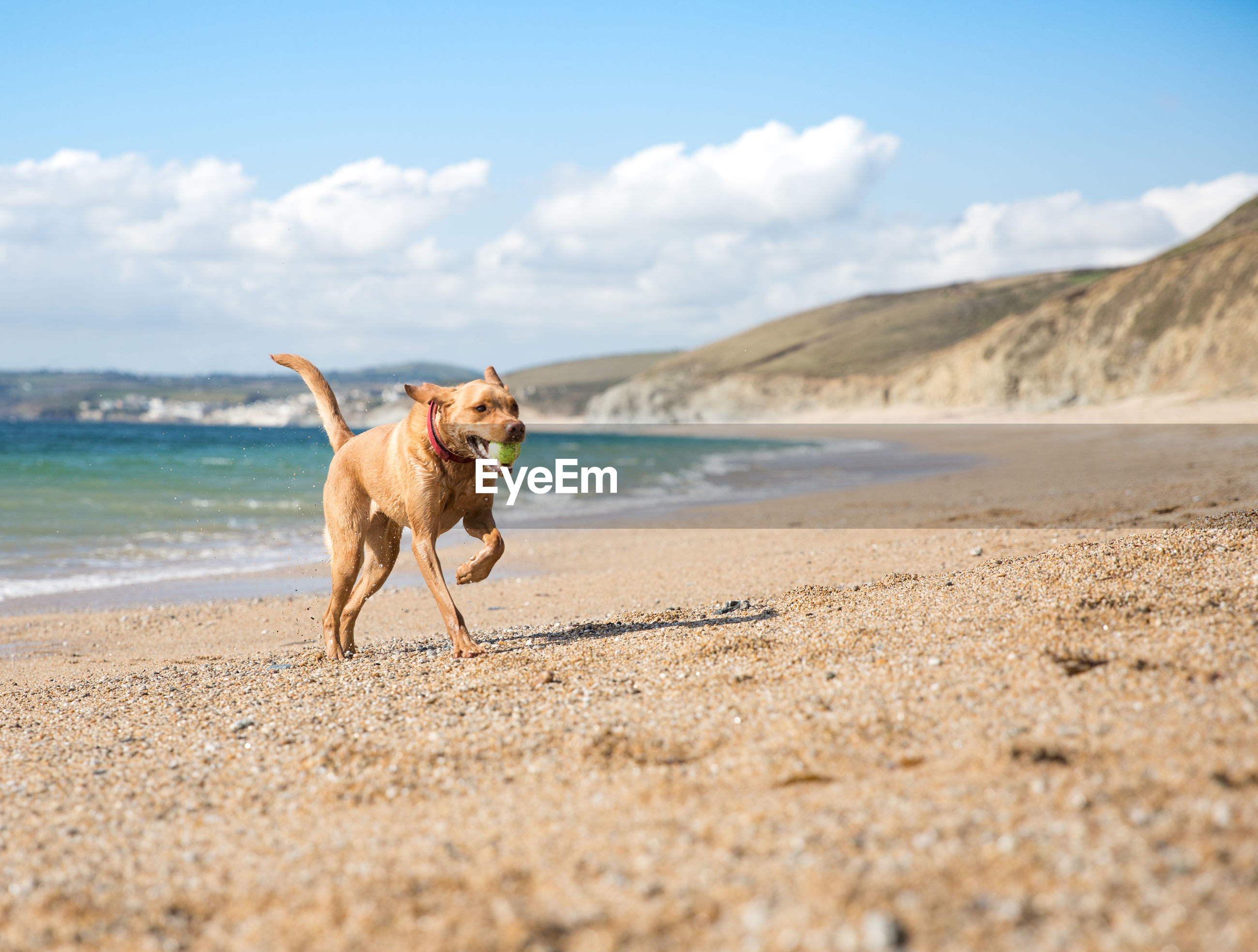 Dog carrying ball in mouth while running at beach