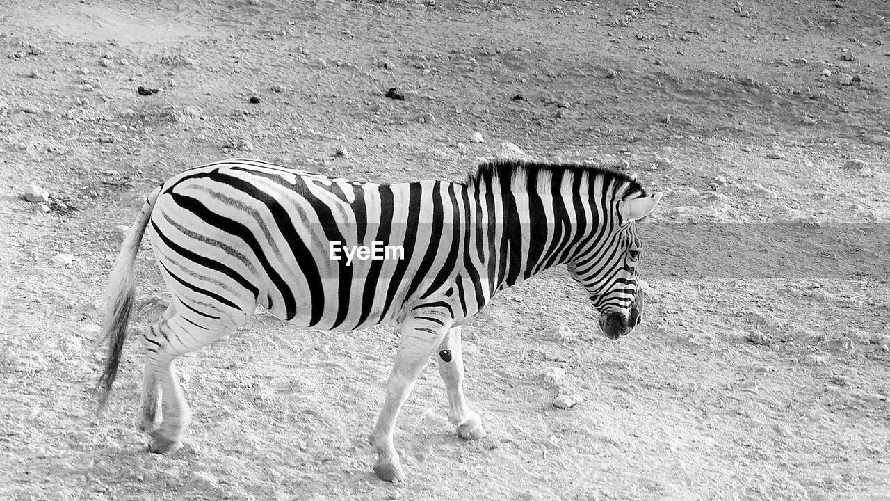 animal, animal themes, animals in the wild, animal wildlife, striped, one animal, mammal, zebra, vertebrate, no people, side view, nature, standing, field, land, day, animal markings, outdoors, safari, herbivorous