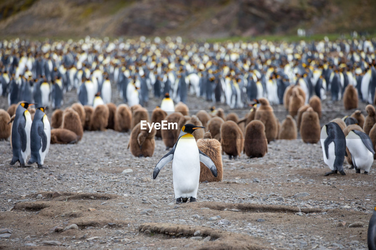 group of animals, bird, penguin, vertebrate, large group of animals, animal, water, animal themes, animals in the wild, animal wildlife, nature, focus on foreground, day, beach, land, colony, no people, sea, pebble, flock of birds