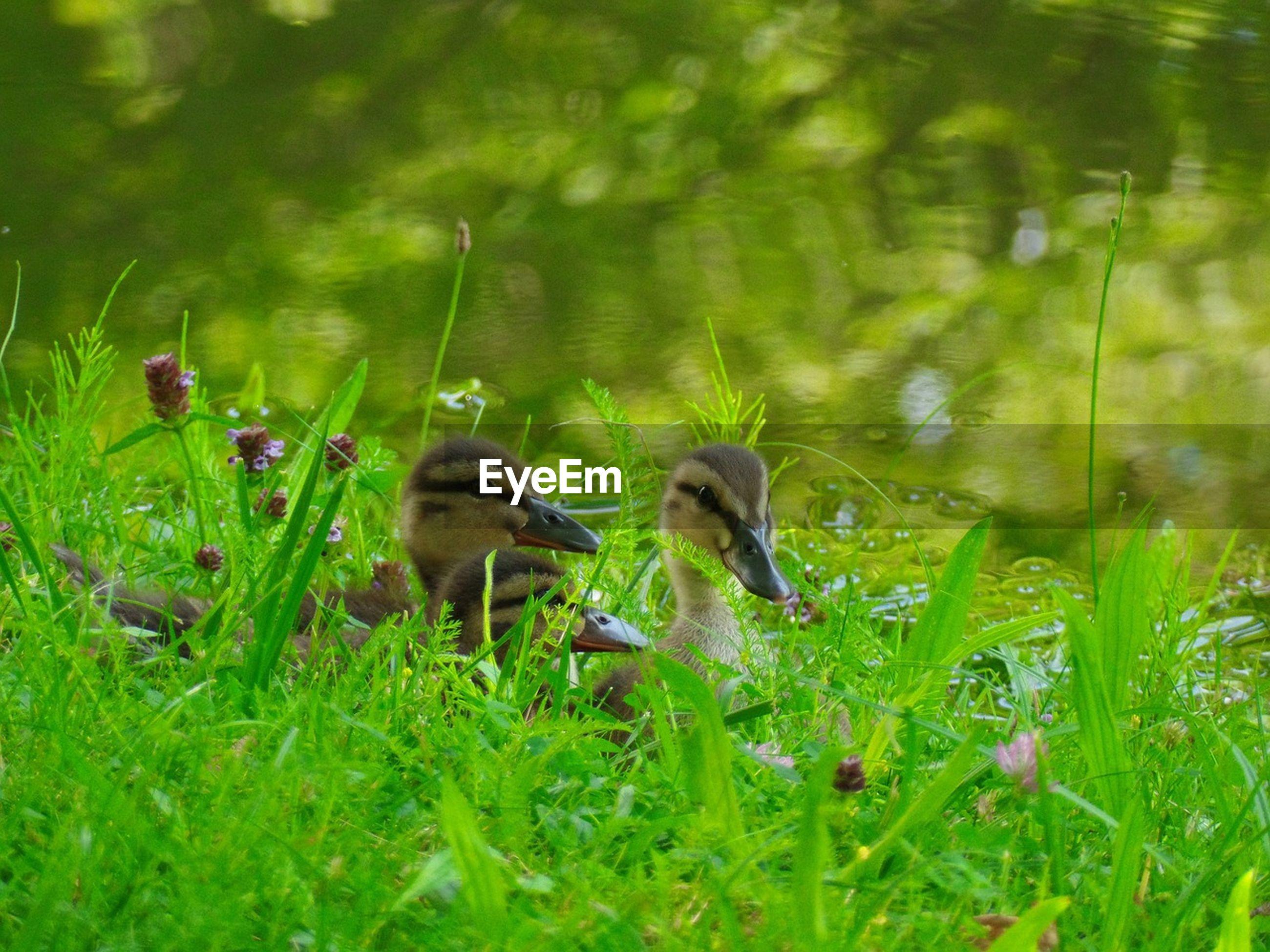 Ducklings on grassy field by lake