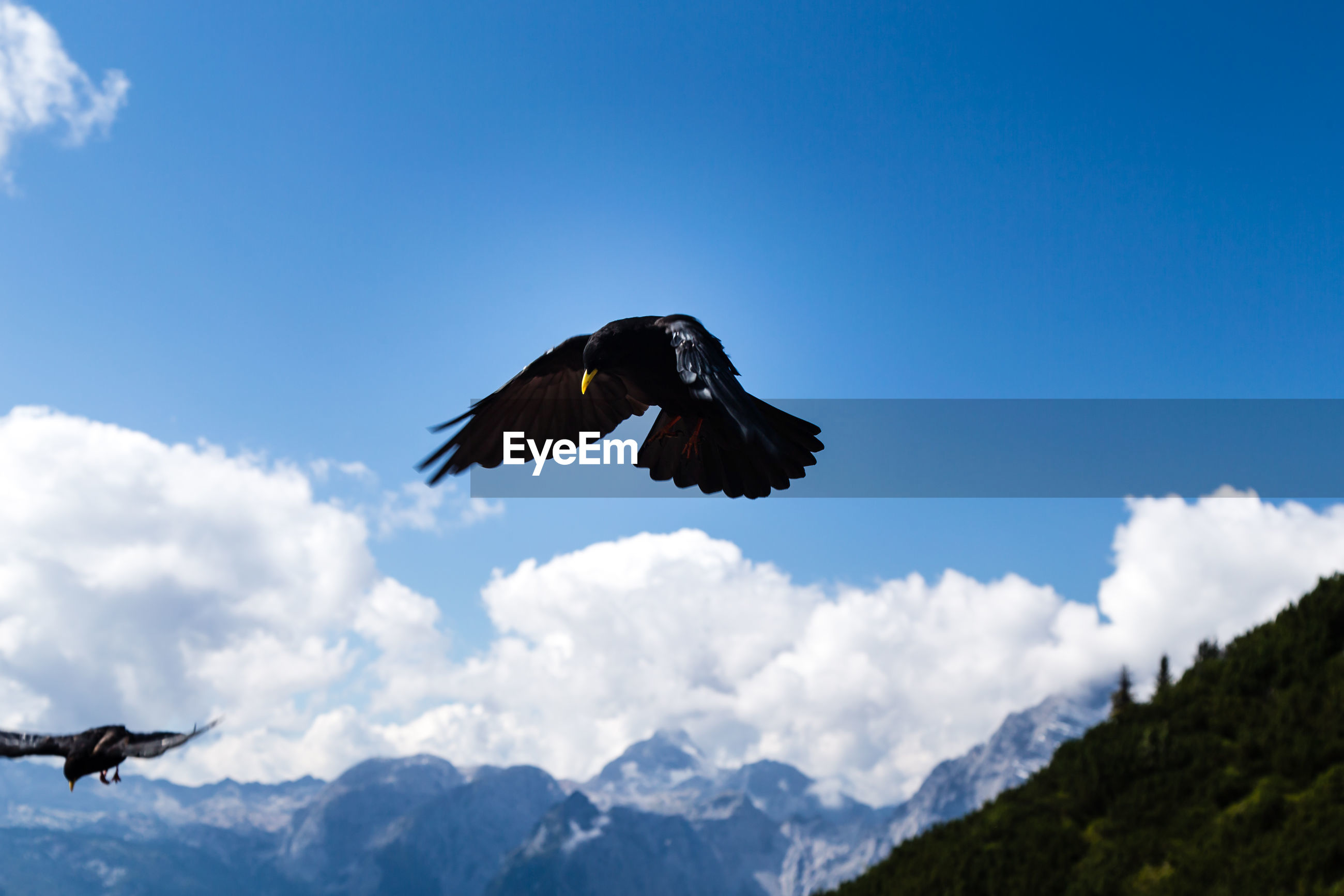 Low angle view of alpine choughs flying against sky