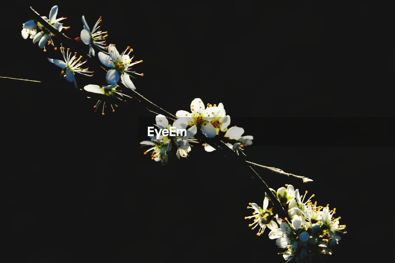 flower, growth, fragility, nature, blossom, beauty in nature, botany, apple blossom, no people, branch, petal, tree, freshness, flower head, springtime, black background, close-up, outdoors, day