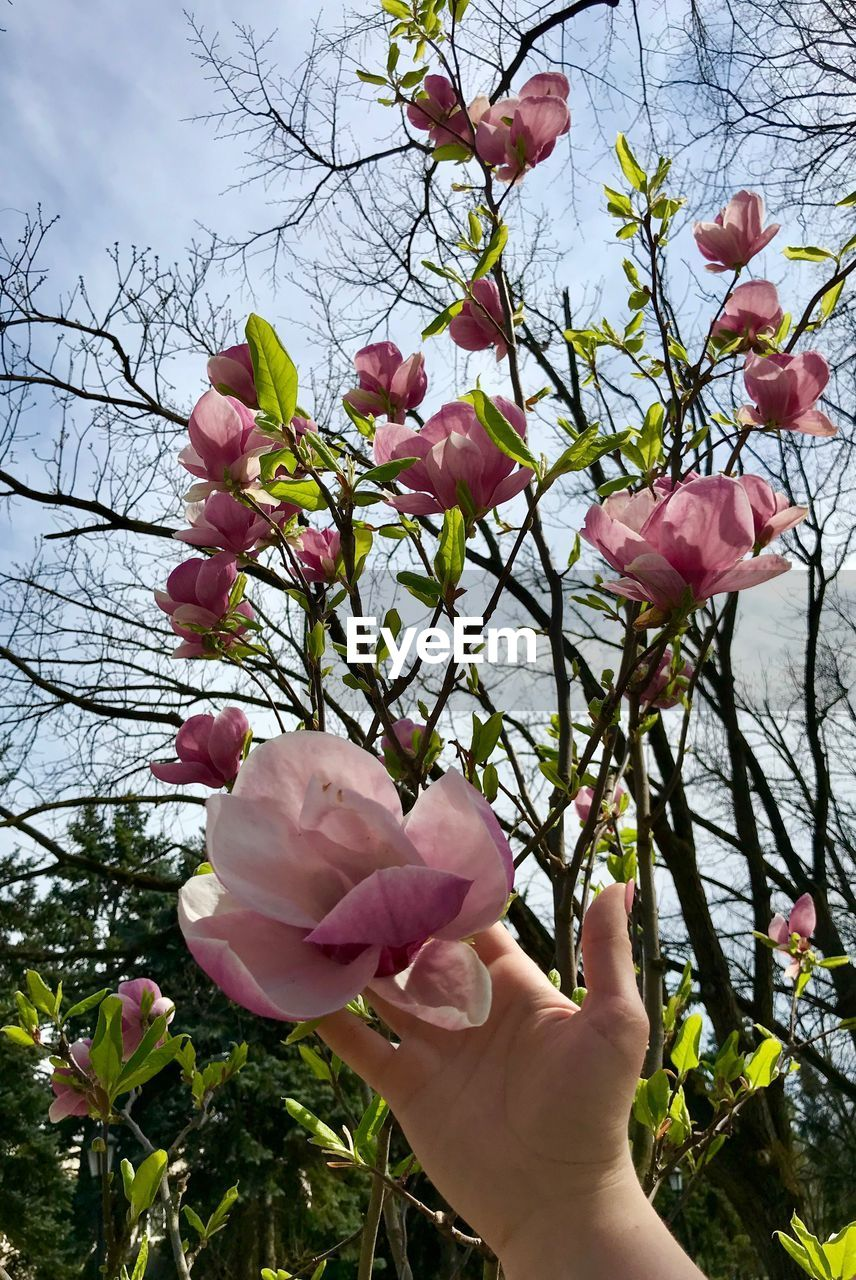 flower, plant, flowering plant, human hand, freshness, hand, beauty in nature, fragility, vulnerability, petal, pink color, close-up, nature, human body part, growth, one person, sky, tree, finger, inflorescence, flower head, outdoors, body part, springtime, cherry blossom