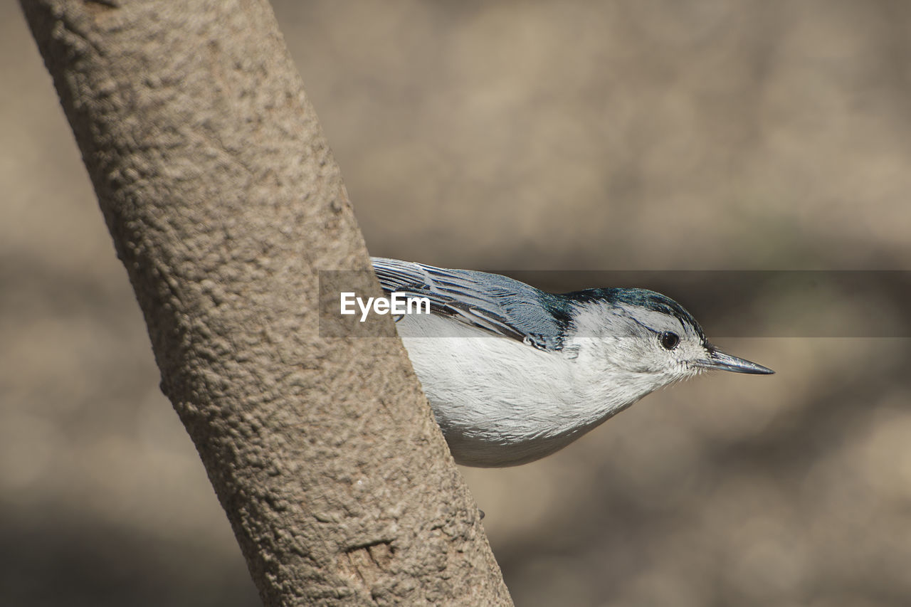 animal themes, animal, bird, one animal, animals in the wild, vertebrate, animal wildlife, focus on foreground, close-up, day, no people, tree, nature, perching, outdoors, selective focus, tree trunk, trunk, gray, beak