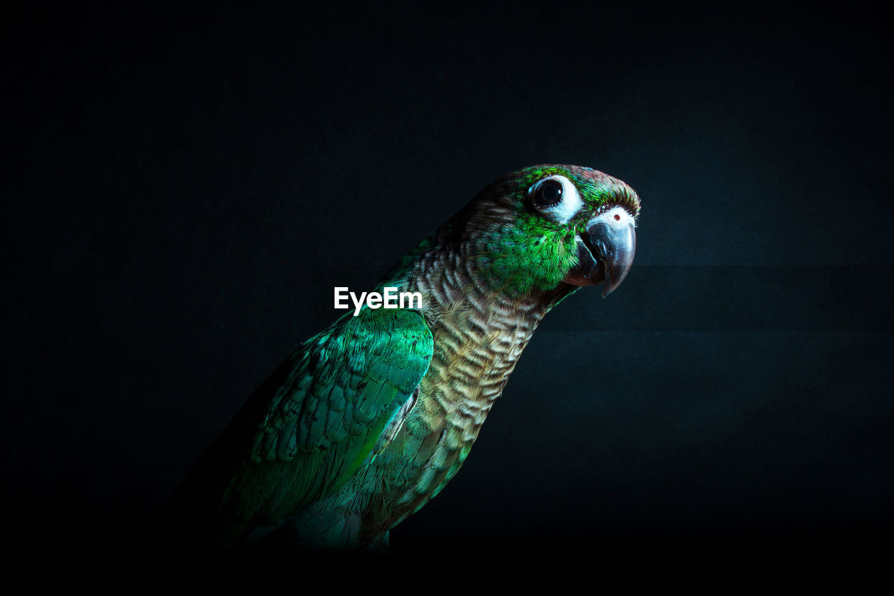 Close-Up Of Parrot Perching Against Black Background