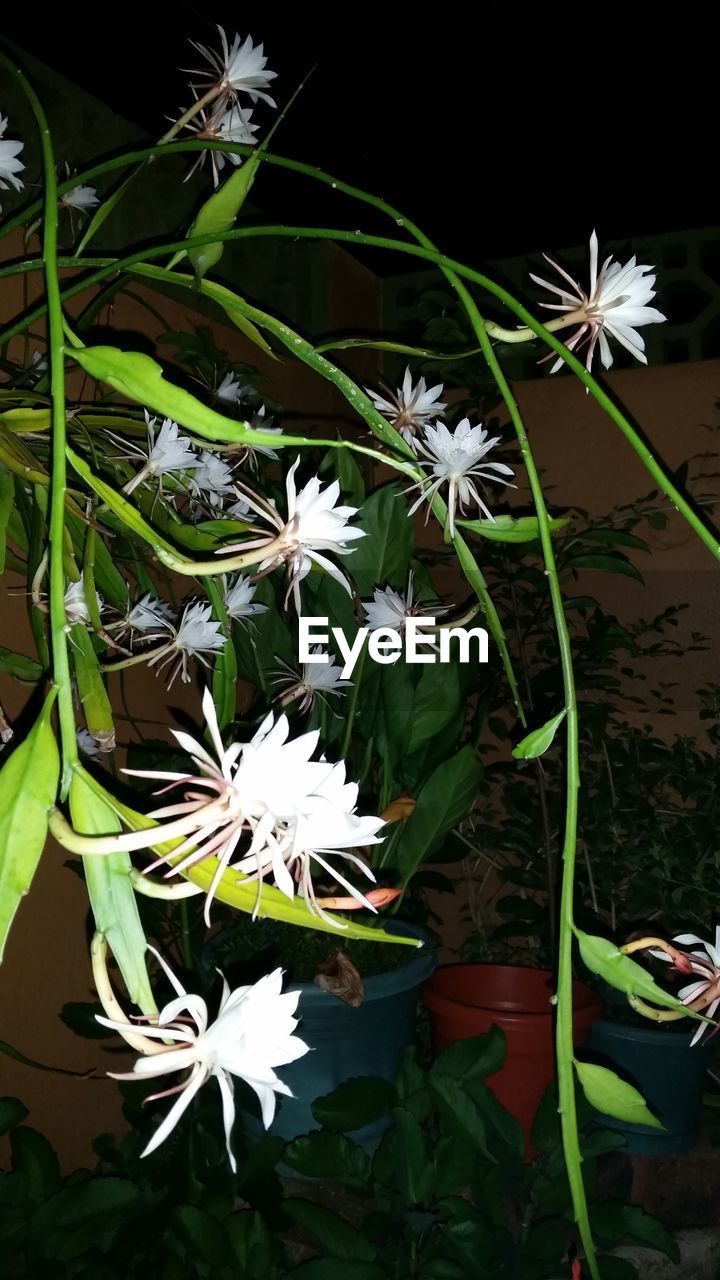 flower, white color, nature, plant, fragility, beauty in nature, growth, freshness, leaf, flower head, green color, petal, no people, close-up, outdoors, day, blooming