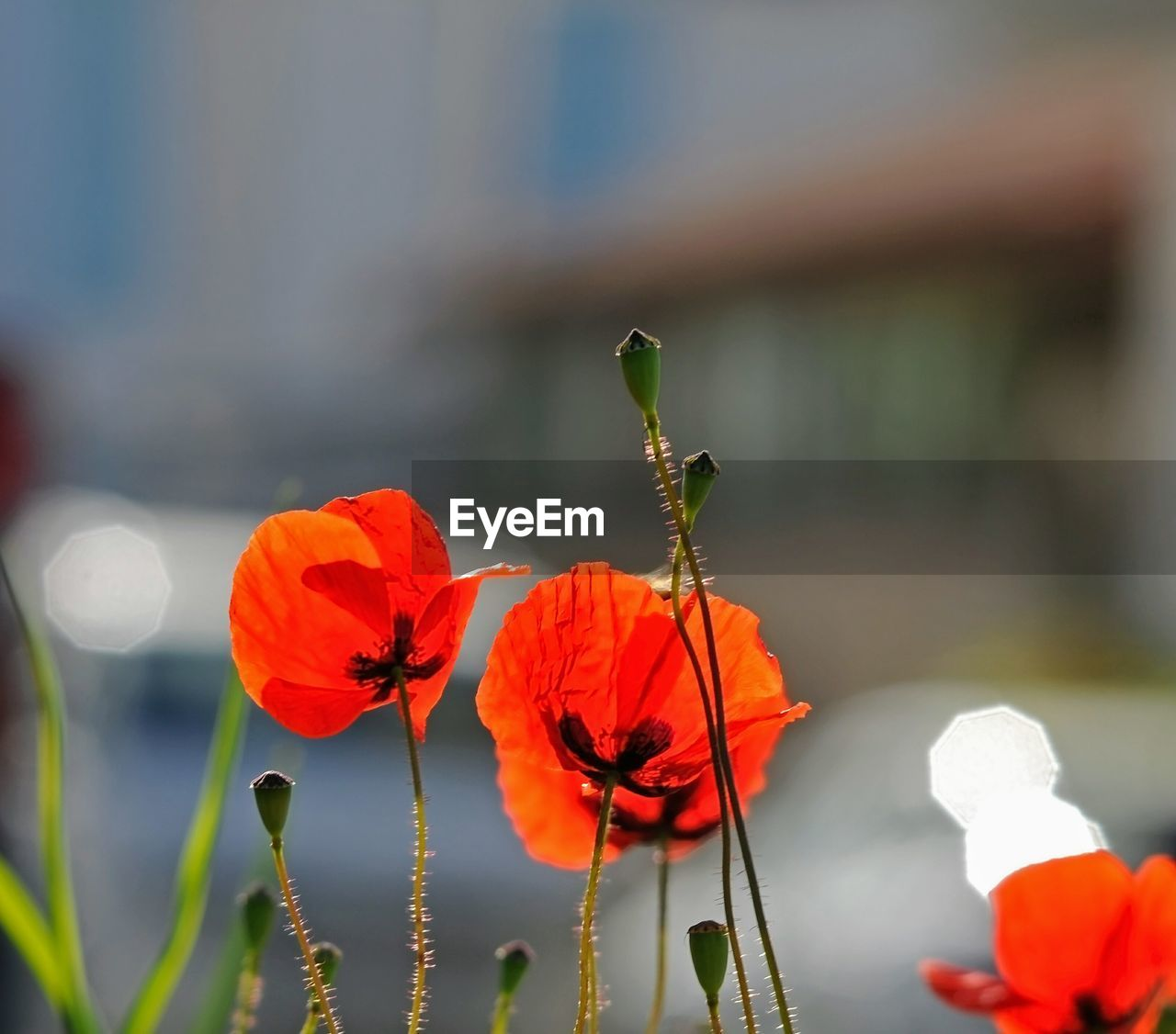 flowering plant, flower, plant, beauty in nature, vulnerability, fragility, petal, freshness, close-up, inflorescence, growth, flower head, focus on foreground, nature, plant stem, day, no people, poppy, outdoors, red, orange