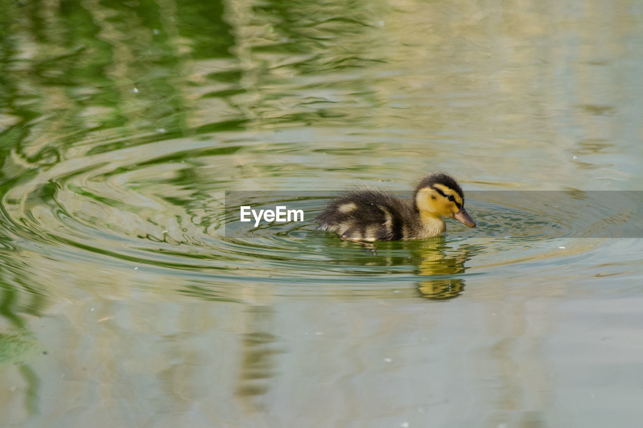 animal themes, animal, vertebrate, animals in the wild, animal wildlife, bird, water, one animal, waterfront, lake, swimming, young bird, young animal, duckling, duck, no people, day, nature, water bird, outdoors, gosling, animal family