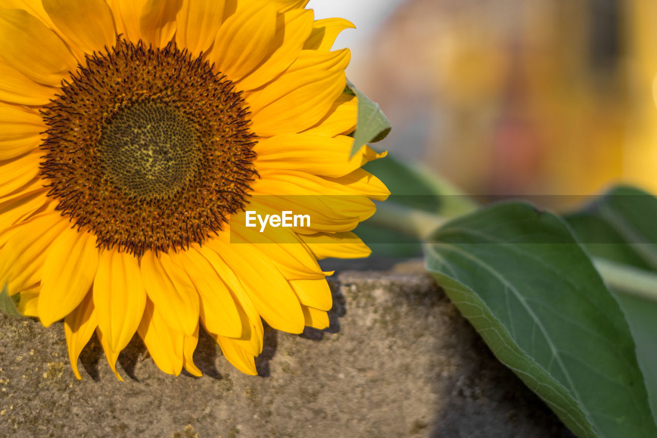 flower, petal, beauty in nature, yellow, flower head, fragility, nature, freshness, close-up, growth, no people, sunflower, plant, day, outdoors, leaf, blooming