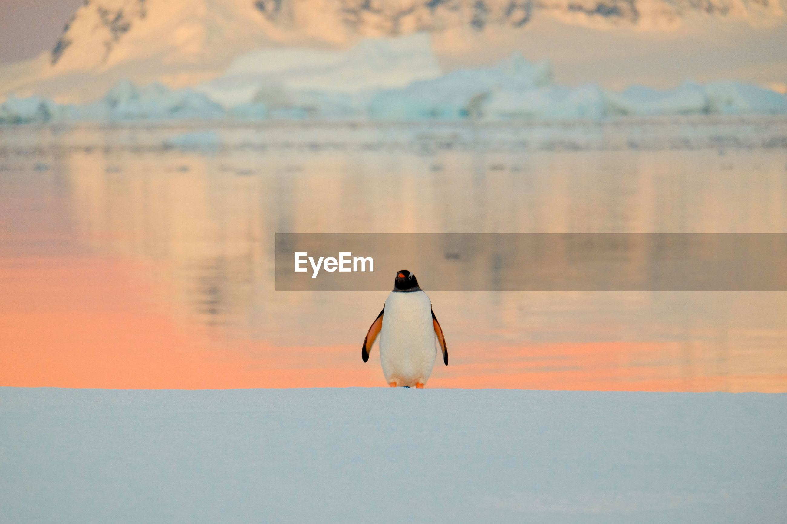 Penguin on shore during sunset