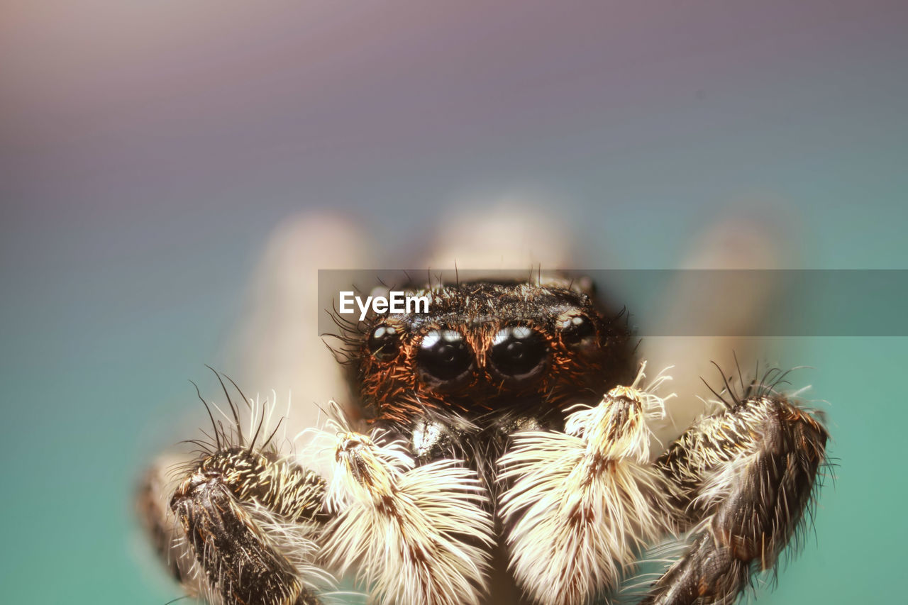 Close-up of jumping spider