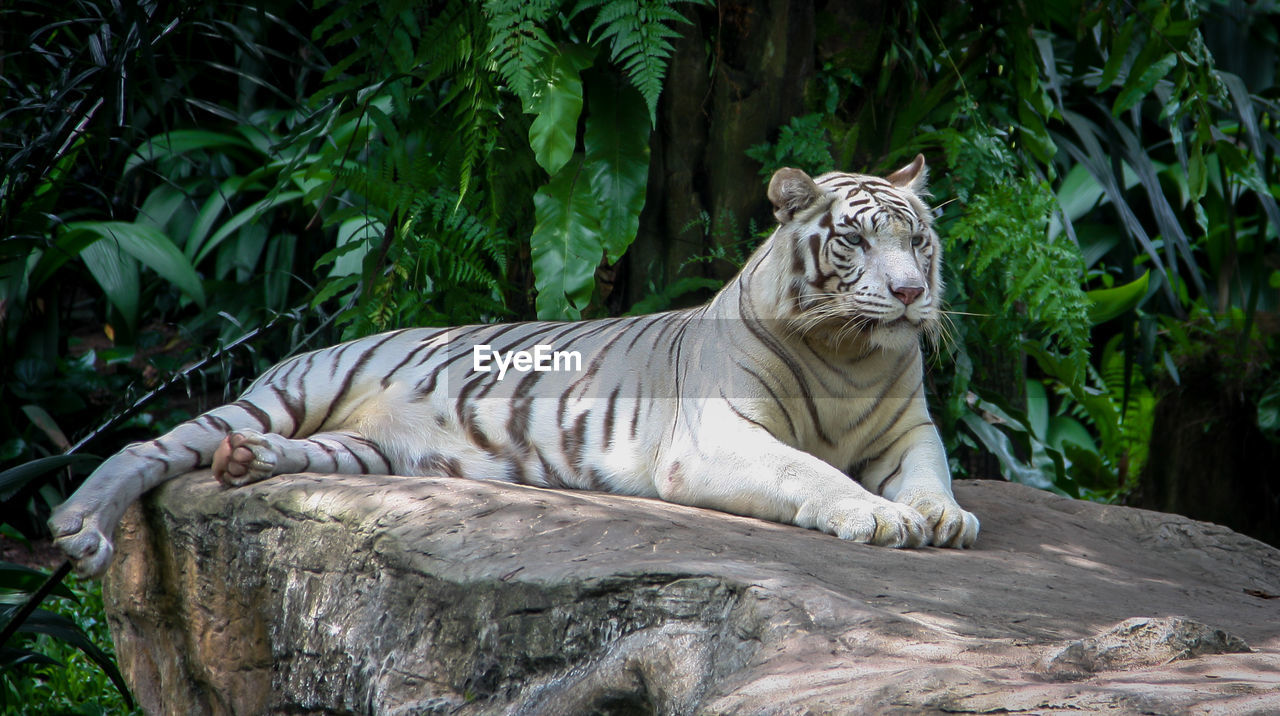 animal, feline, animal themes, mammal, big cat, tiger, cat, one animal, white tiger, nature, animals in the wild, animal wildlife, relaxation, vertebrate, carnivora, tree, rock - object, day, resting, no people, zoo, outdoors
