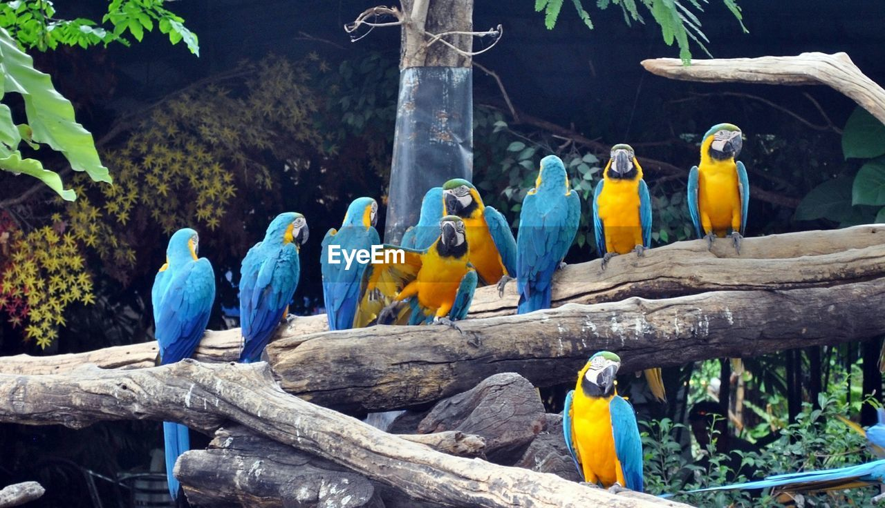 Gold and blue macaws perching on branches