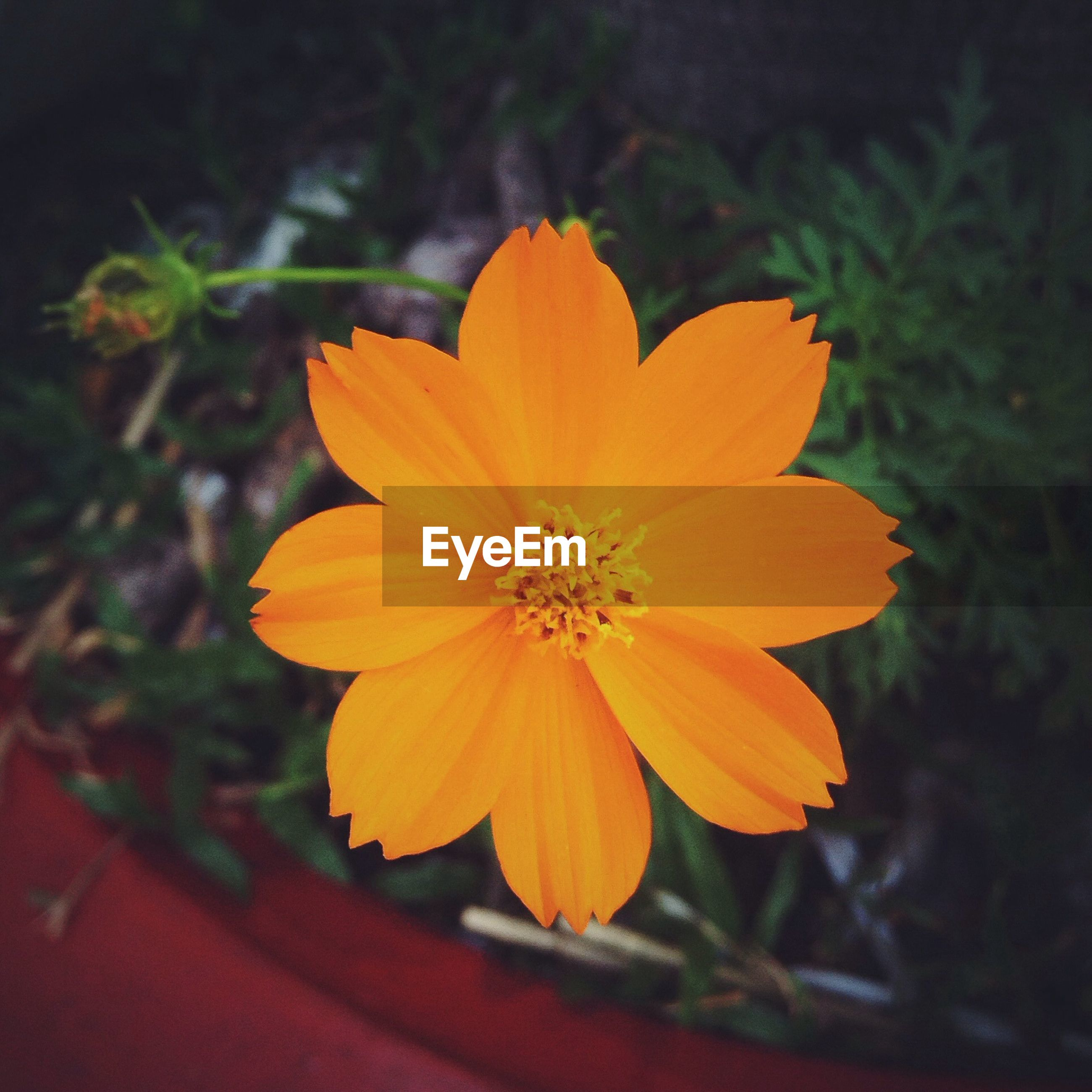 flower, petal, flower head, fragility, freshness, close-up, beauty in nature, growth, orange color, single flower, focus on foreground, blooming, nature, pollen, plant, stamen, yellow, in bloom, high angle view, no people