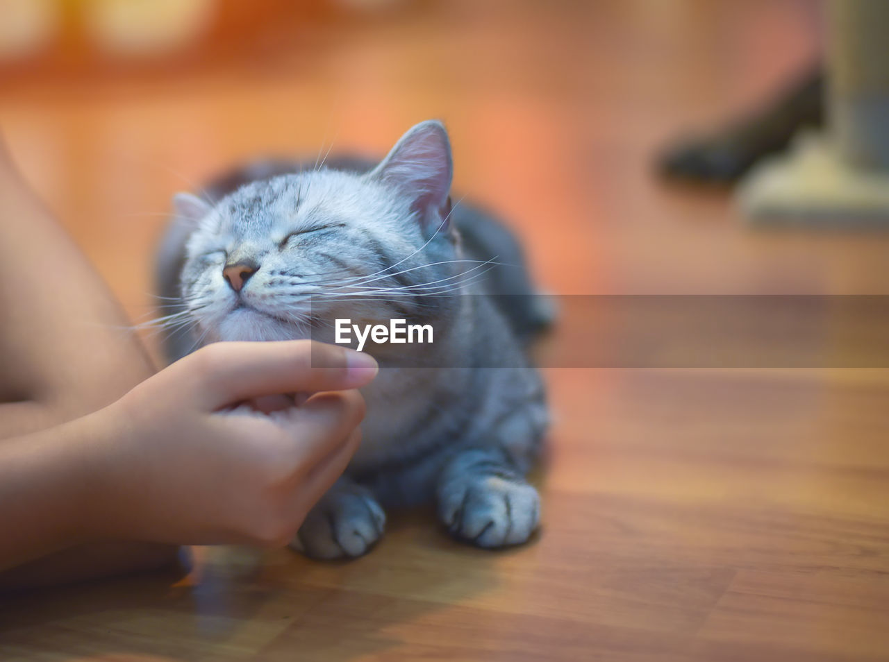 Cropped Hands Petting Kitten On Hardwood Floor