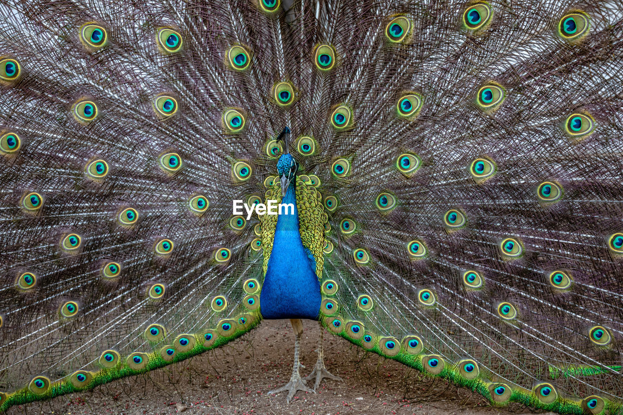 CLOSE-UP OF PEACOCK WITH FEATHERS