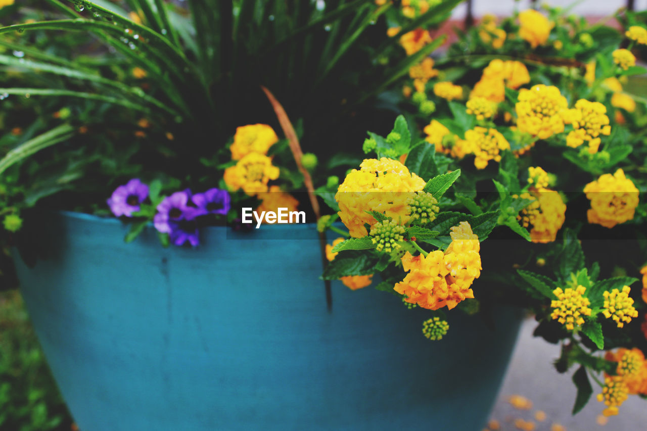 flower, flowering plant, plant, freshness, beauty in nature, vulnerability, fragility, growth, nature, close-up, yellow, petal, flower head, inflorescence, no people, selective focus, day, focus on foreground, outdoors, potted plant, lantana, purple, flower pot, flower arrangement, bouquet