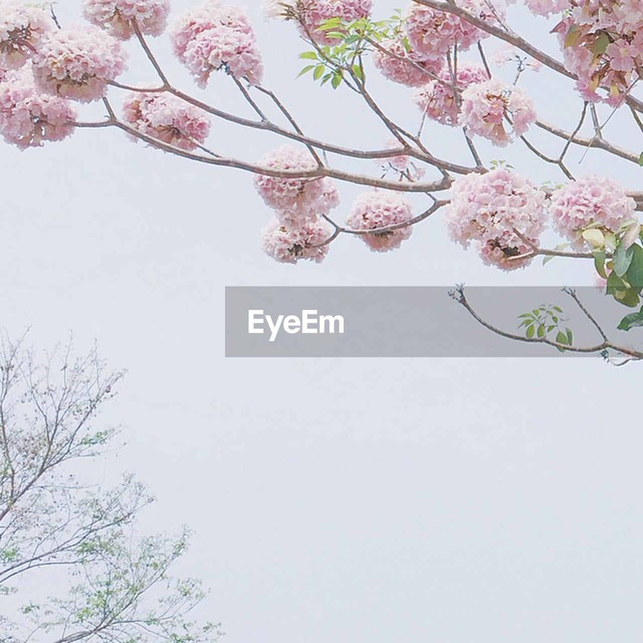 flower, tree, beauty in nature, fragility, blossom, branch, nature, growth, springtime, cherry tree, pink color, freshness, botany, low angle view, no people, day, apple blossom, petal, outdoors, twig, plum blossom, sky, clear sky, close-up, blooming, flower head