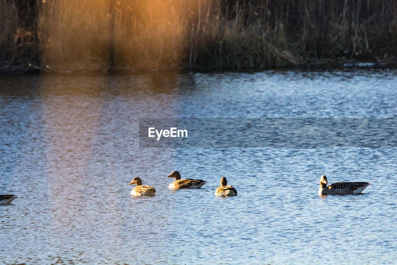 bird, animal themes, group of animals, animal, water, animals in the wild, animal wildlife, vertebrate, lake, swimming, waterfront, nature, no people, water bird, duck, day, poultry, beauty in nature, goose, outdoors, animal family, gosling