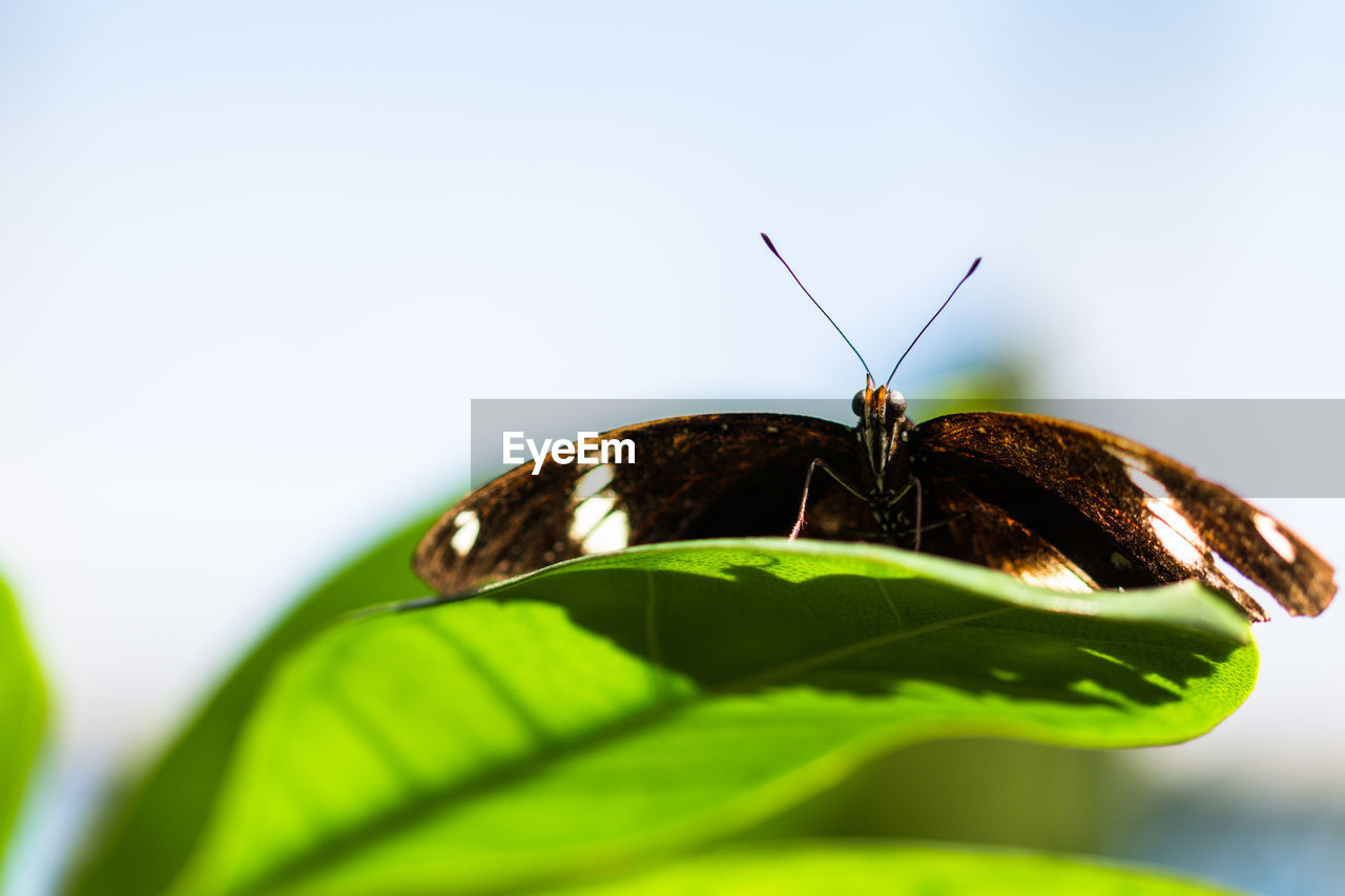 insect, one animal, animal themes, leaf, animals in the wild, butterfly - insect, no people, close-up, green color, animal wildlife, nature, outdoors, day, beauty in nature, white background, freshness