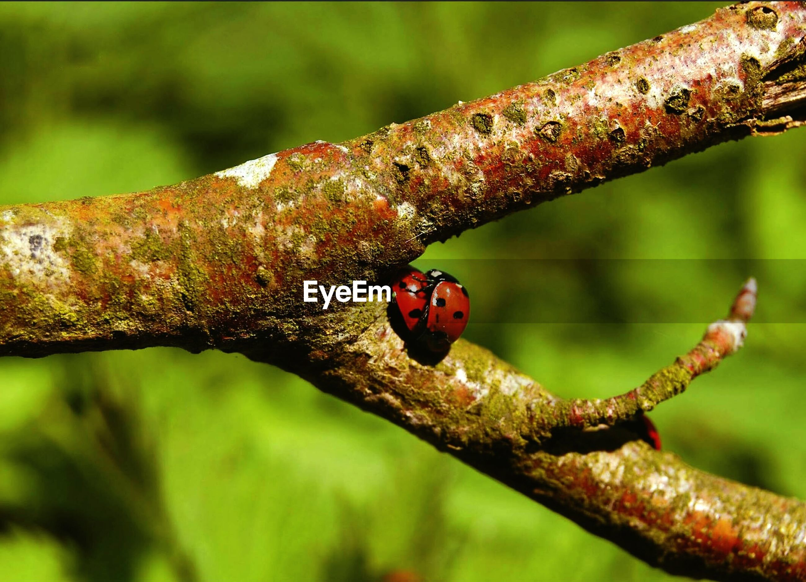 Close-up of ladybugs mating on tree branch
