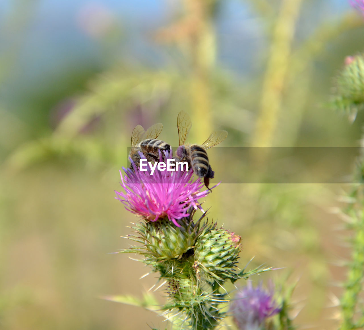 flowering plant, flower, animal themes, insect, animal, animals in the wild, animal wildlife, plant, invertebrate, fragility, beauty in nature, vulnerability, one animal, bee, growth, freshness, flower head, pollination, petal, close-up, purple, no people