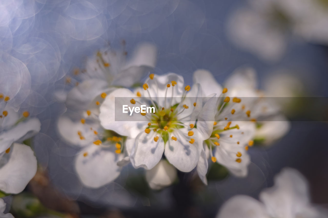 flower, flowering plant, fragility, vulnerability, plant, freshness, growth, petal, beauty in nature, close-up, flower head, pollen, white color, nature, inflorescence, day, selective focus, no people, focus on foreground, springtime, cherry blossom