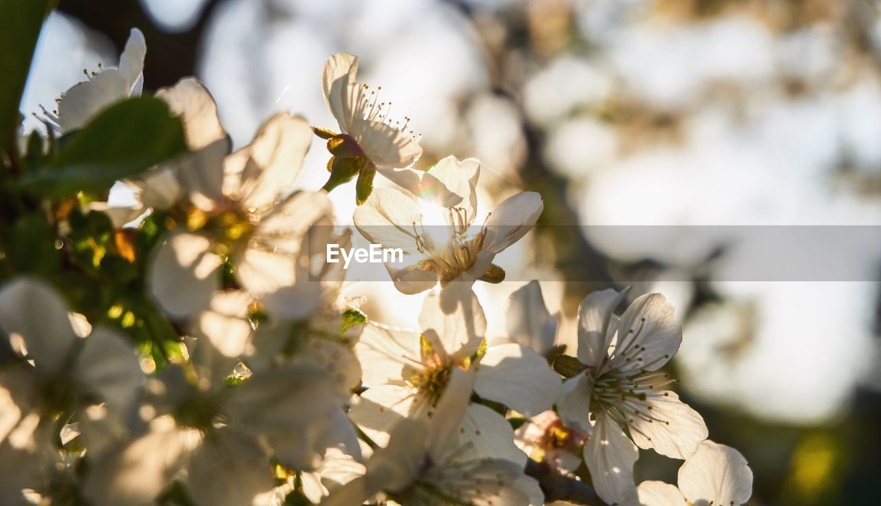 flowering plant, flower, fragility, growth, plant, vulnerability, beauty in nature, freshness, white color, close-up, nature, petal, blossom, no people, selective focus, day, tree, springtime, focus on foreground, flower head, outdoors, pollen, cherry blossom, bright, spring, cherry tree
