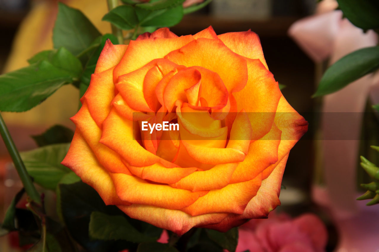 flower, petal, rose - flower, flower head, beauty in nature, fragility, nature, freshness, close-up, plant, growth, outdoors, leaf, no people, blooming, day