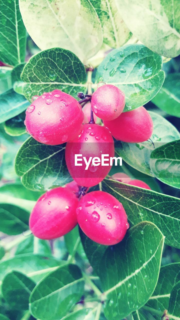 growth, leaf, nature, fruit, food and drink, plant, day, outdoors, freshness, beauty in nature, no people, green color, close-up, red, food, tree