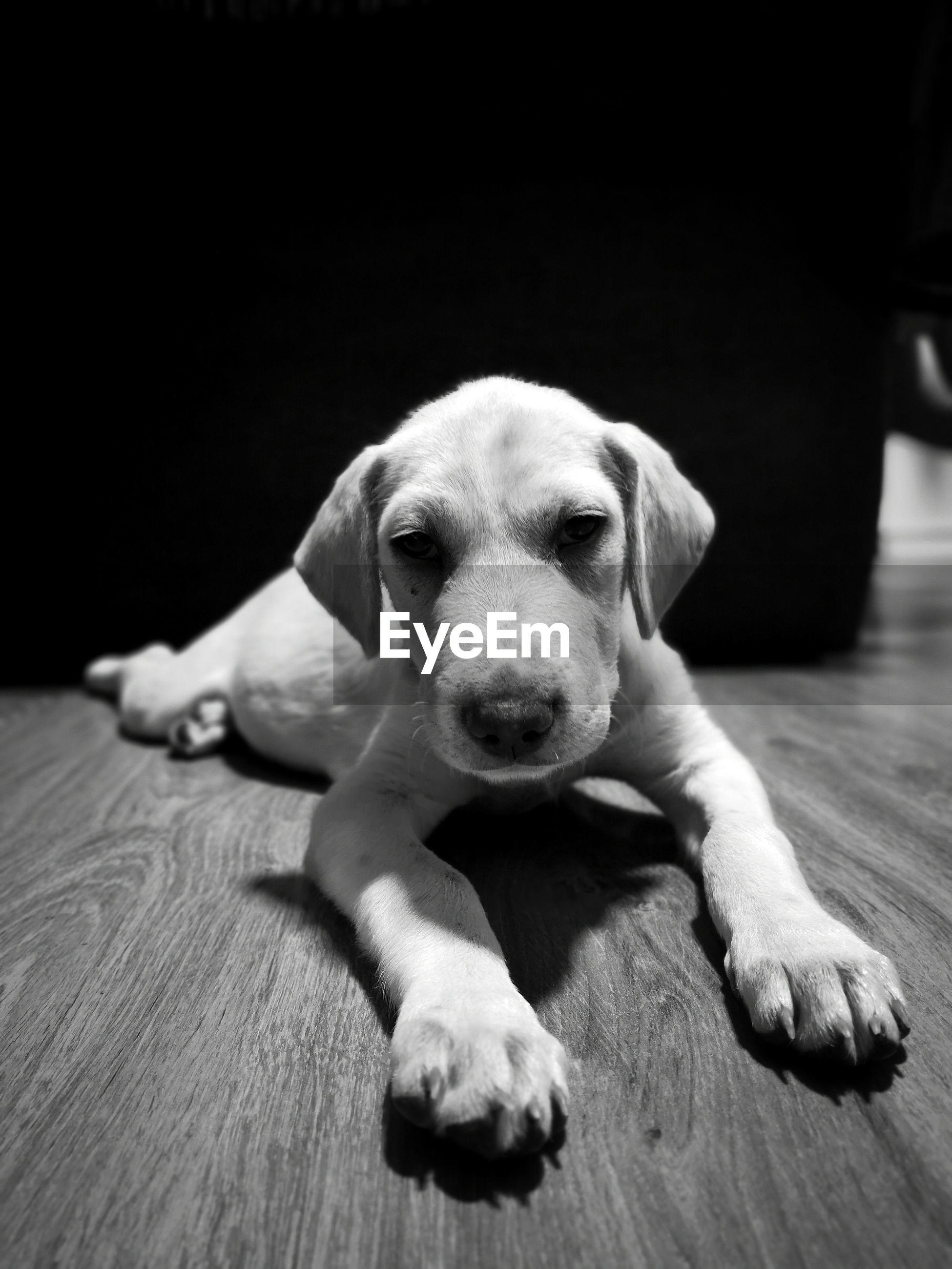 PORTRAIT OF DOG RELAXING ON HARDWOOD FLOOR