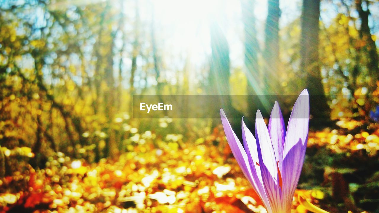 flower, nature, beauty in nature, petal, growth, focus on foreground, freshness, fragility, plant, flower head, no people, day, leaf, sunlight, outdoors, tree, blooming, close-up, forest, crocus
