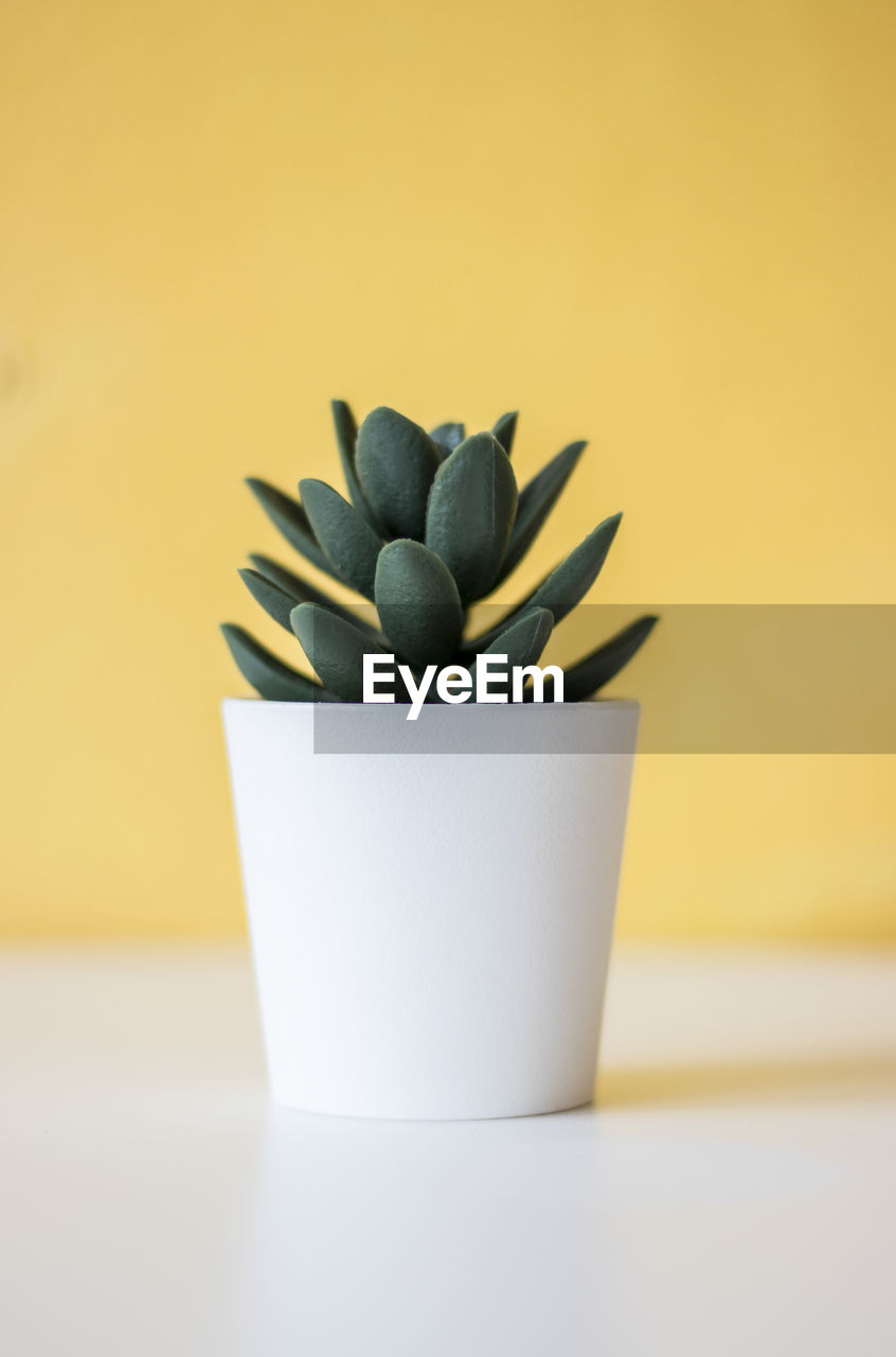 Close-up of succulent plant on table
