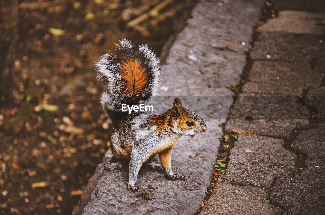 animal, animal themes, animal wildlife, mammal, animals in the wild, squirrel, rodent, one animal, nature, day, vertebrate, no people, focus on foreground, footpath, high angle view, outdoors, portrait, looking at camera, sunlight, whisker