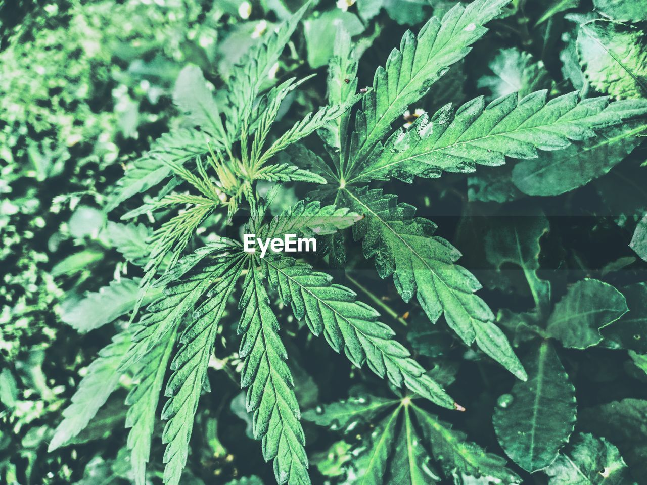 green color, leaf, plant part, plant, marijuana - herbal cannabis, close-up, cannabis plant, growth, narcotic, nature, healthcare and medicine, recreational drug, herb, no people, medicine, day, food, social issues, beauty in nature, food and drink, outdoors
