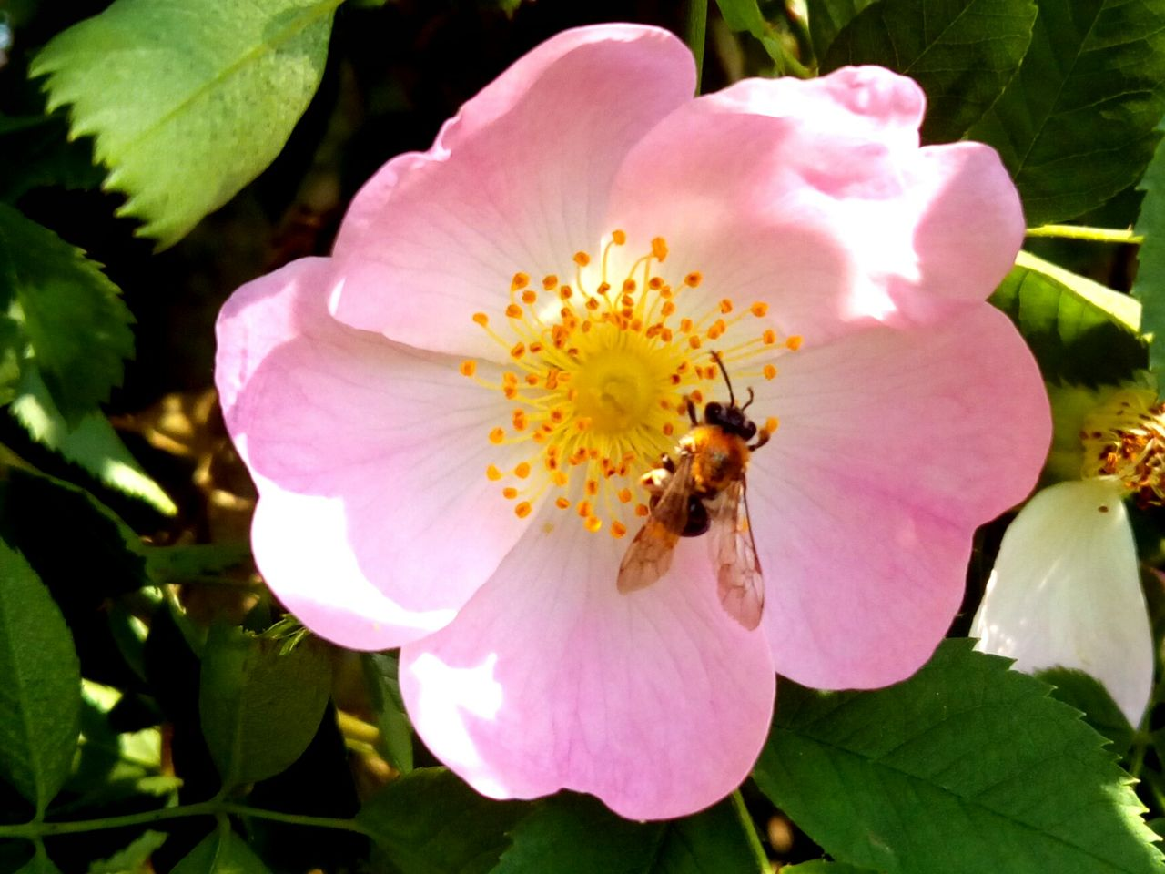 flower, petal, nature, bee, flower head, insect, beauty in nature, plant, growth, one animal, animal themes, fragility, pink color, pollen, animals in the wild, no people, outdoors, wild rose, freshness, pollination, leaf, blooming, day, close-up