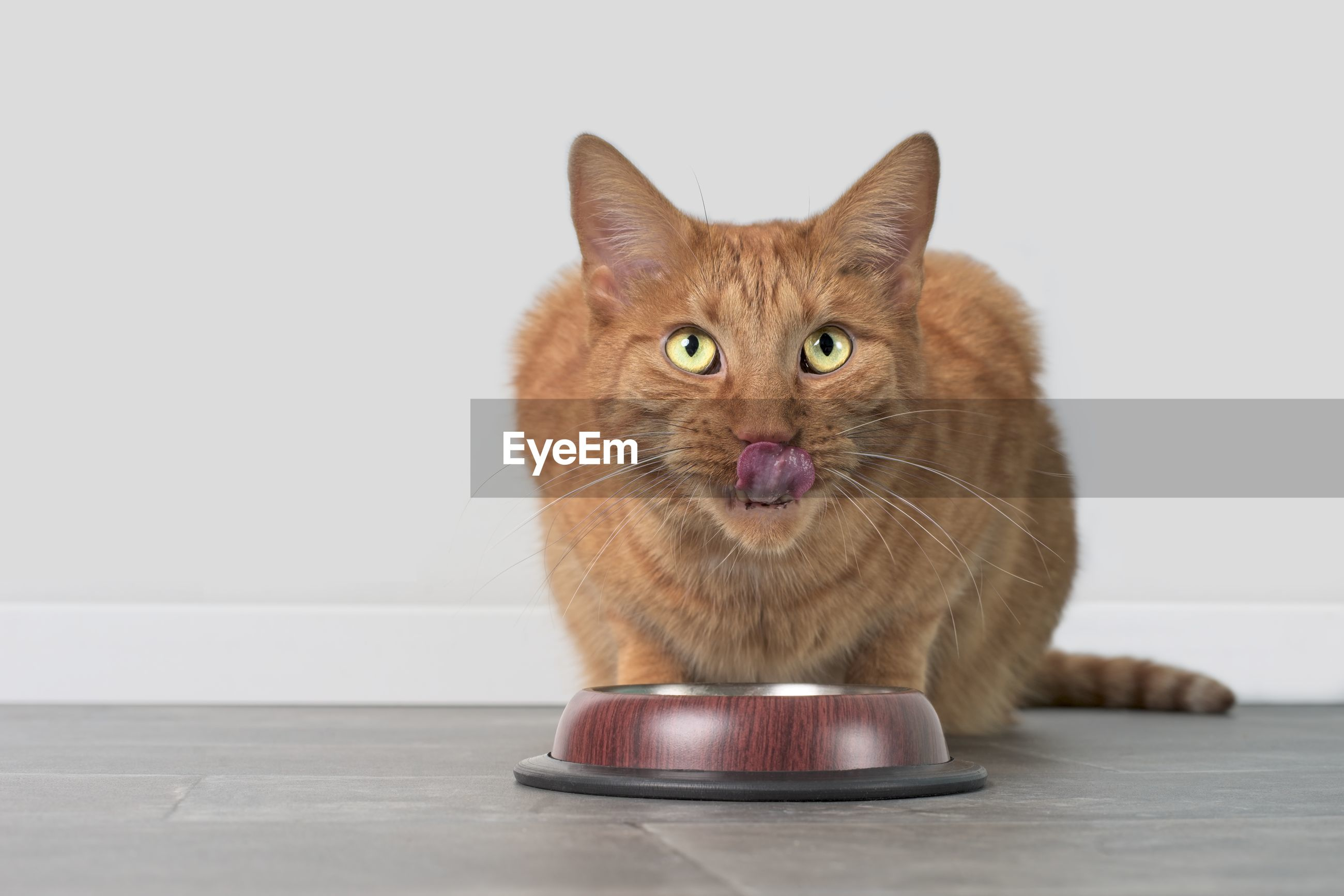 Cute ginger cat licking his face behind a food dish. horizontal image with copy space.