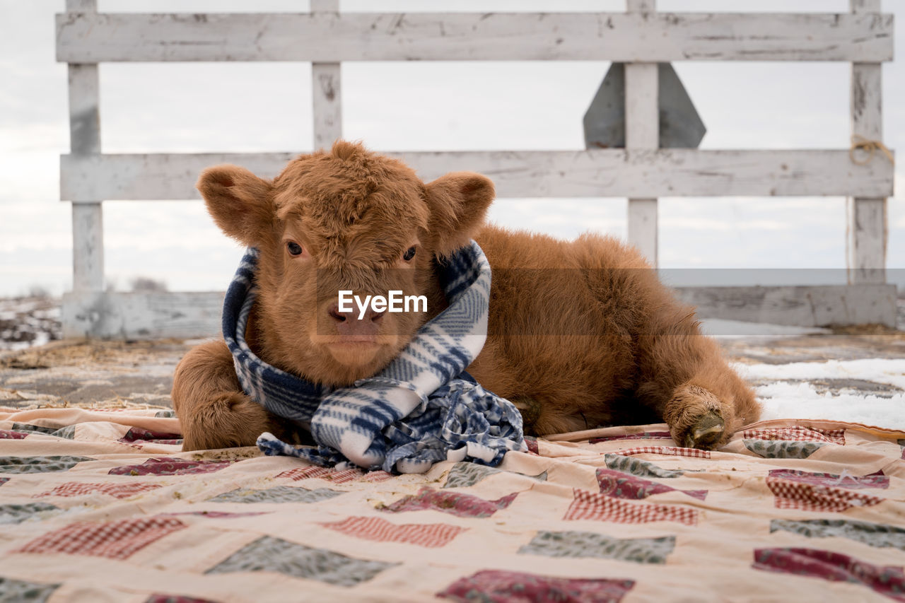 mammal, animal, animal themes, pets, domestic, domestic animals, vertebrate, relaxation, portrait, one animal, no people, looking at camera, brown, livestock, young animal, day, close-up, indoors, resting, animal head, herbivorous