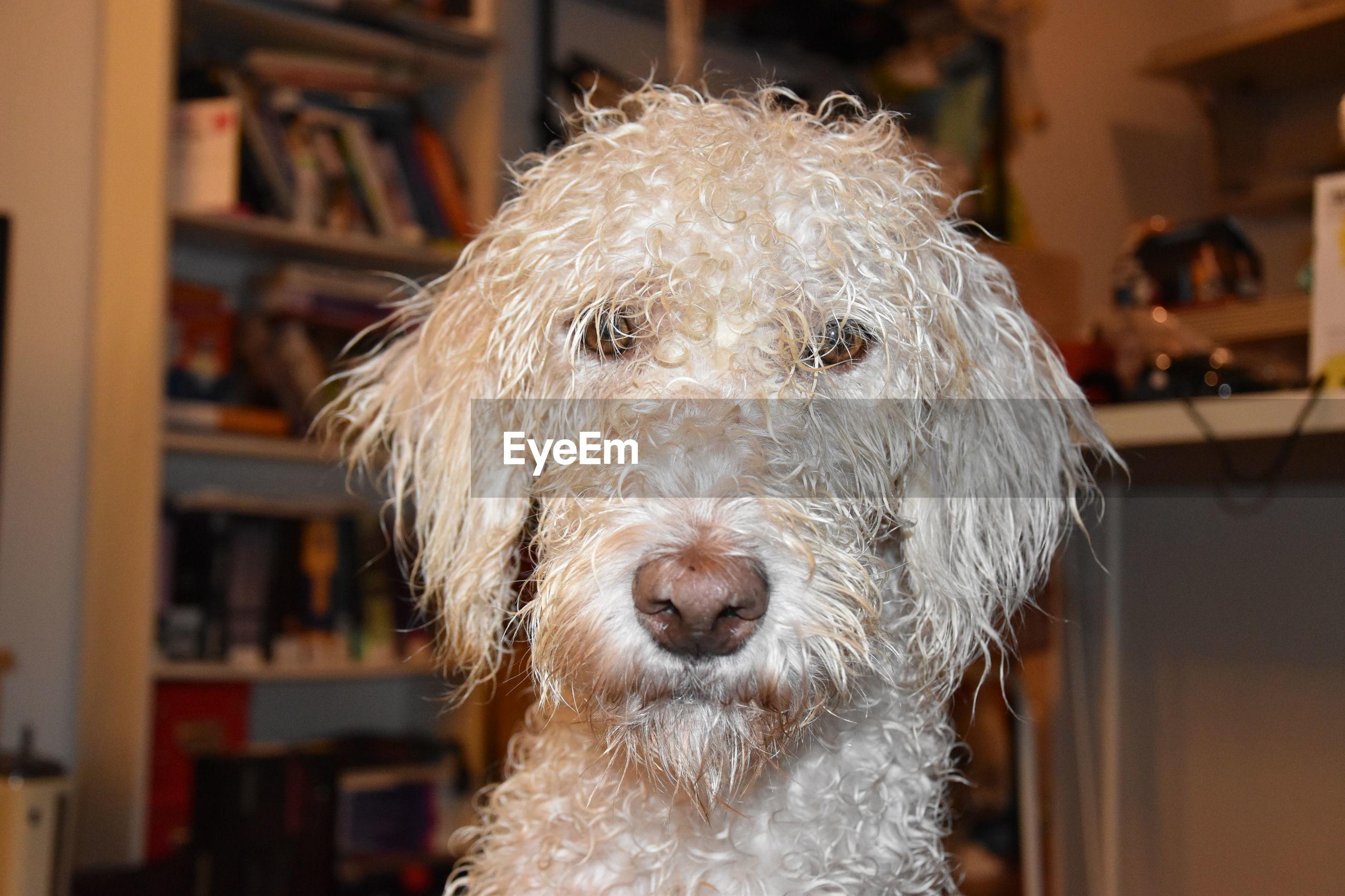 Close-up portrait of doodle at home