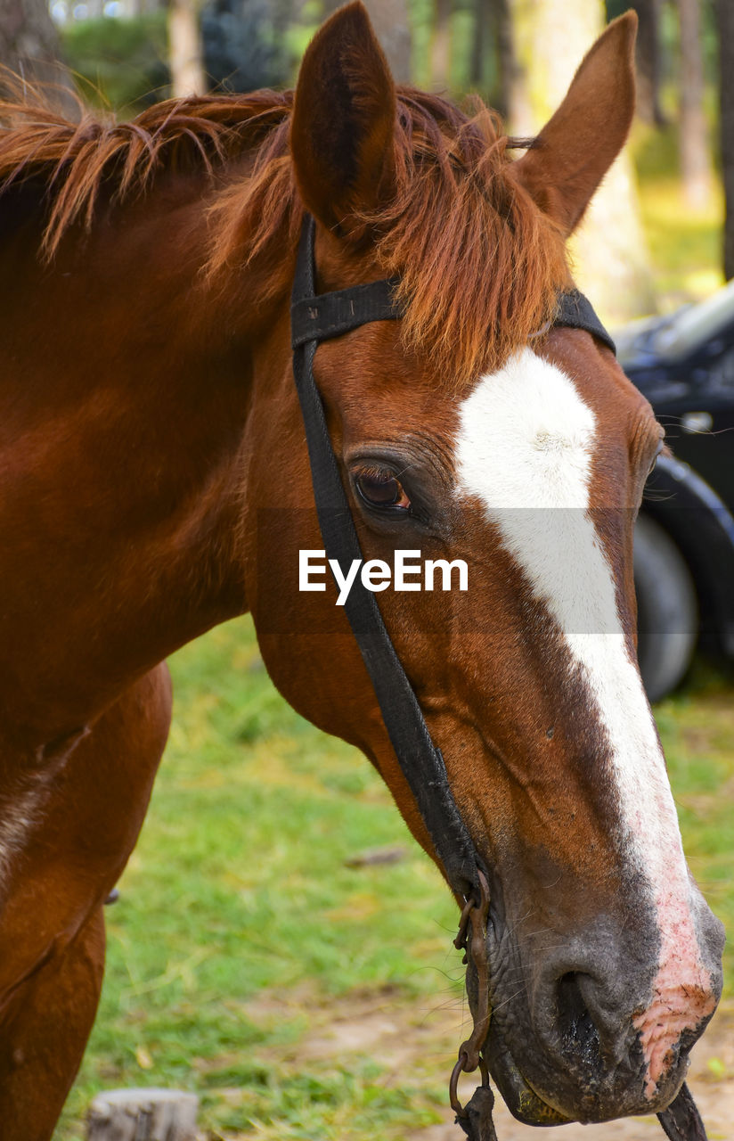 mammal, livestock, domestic animals, animal themes, domestic, animal, pets, animal wildlife, horse, vertebrate, one animal, brown, animal body part, focus on foreground, animal head, day, field, land, no people, close-up, herbivorous, outdoors, ranch