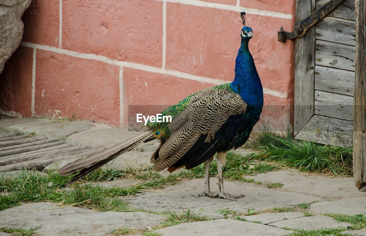 bird, peacock, animal themes, one animal, vertebrate, animal, animals in the wild, animal wildlife, no people, architecture, nature, feather, day, field, male animal, built structure, outdoors, wall, full length, footpath