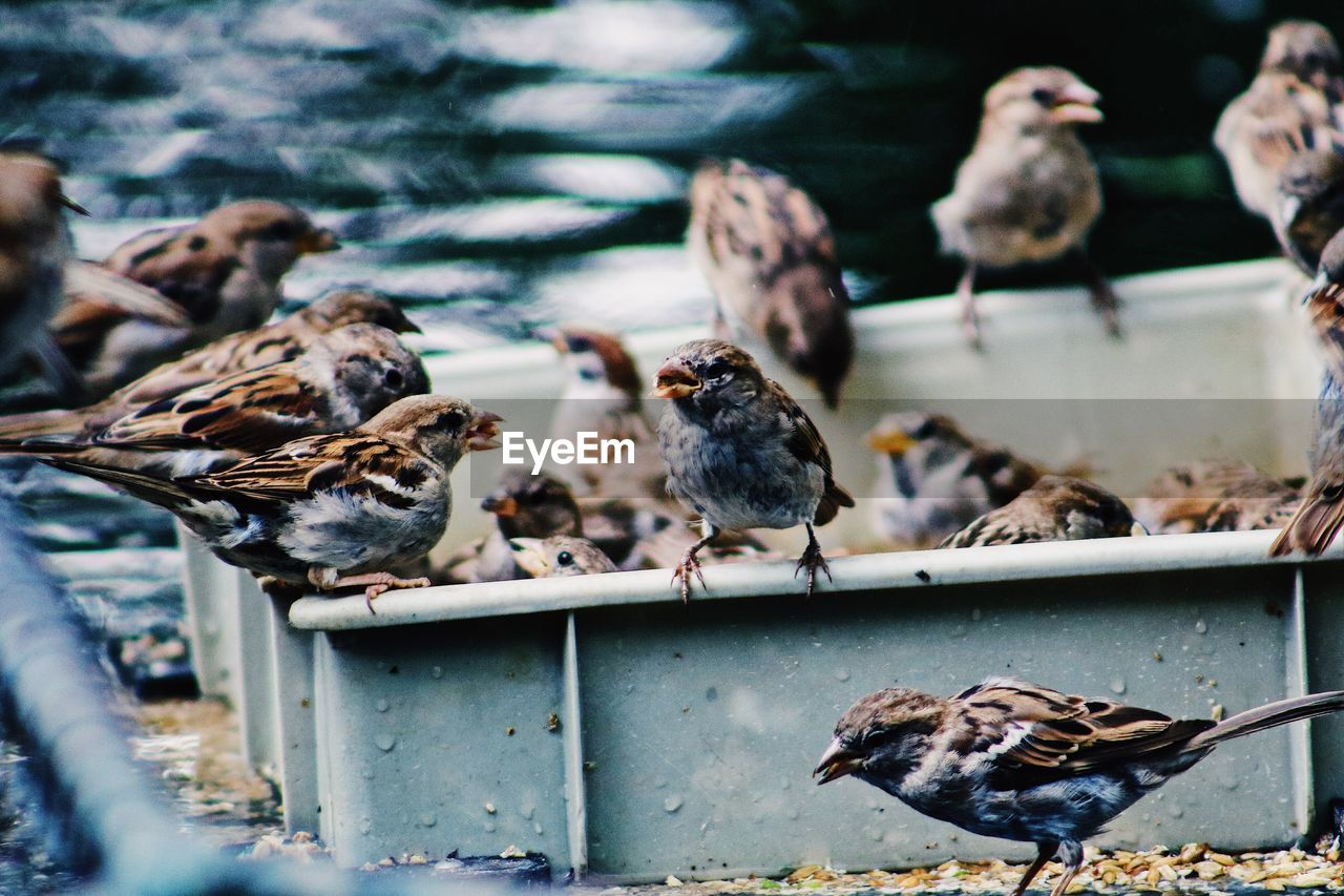 bird, group of animals, animal, animal themes, vertebrate, animal wildlife, animals in the wild, large group of animals, day, no people, selective focus, perching, nature, focus on foreground, outdoors, sparrow, flock of birds, water, wood - material