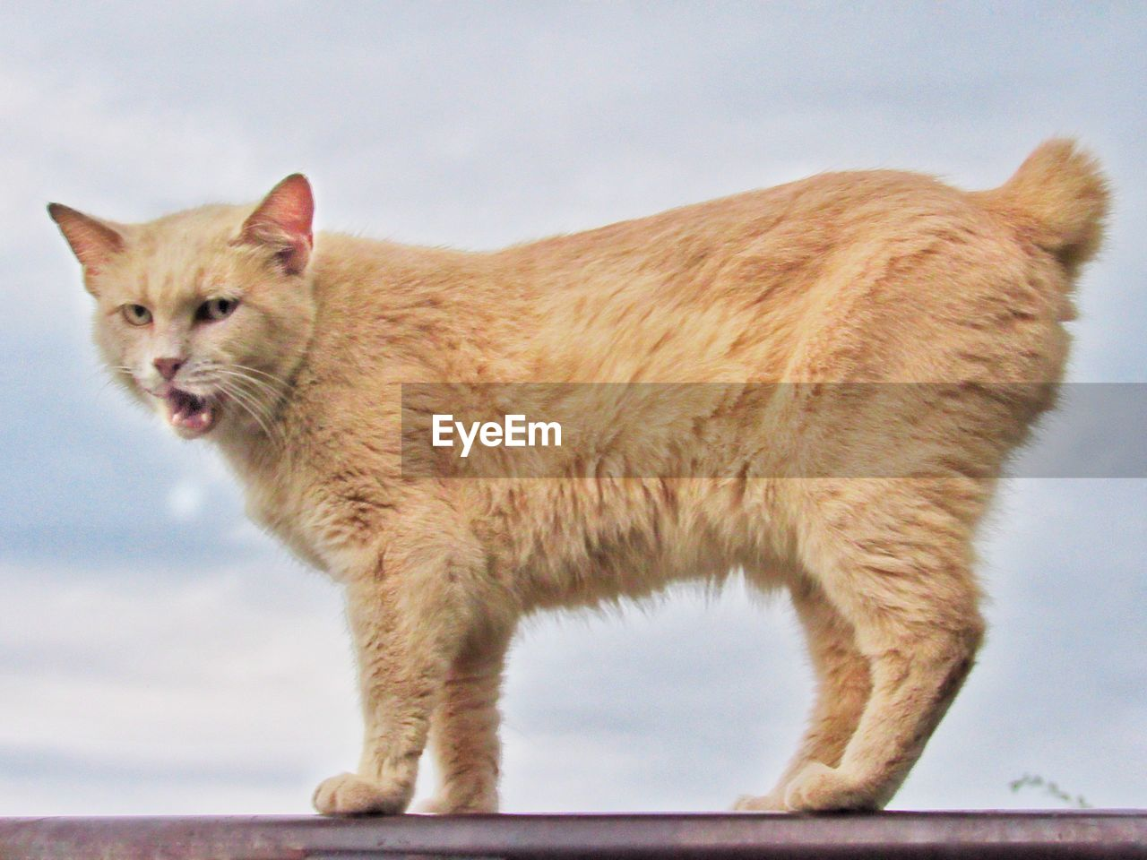 animal, mammal, animal themes, feline, one animal, domestic, cat, domestic animals, pets, domestic cat, vertebrate, no people, side view, sky, standing, nature, outdoors, day, focus on foreground, close-up, mouth open, whisker, ginger cat