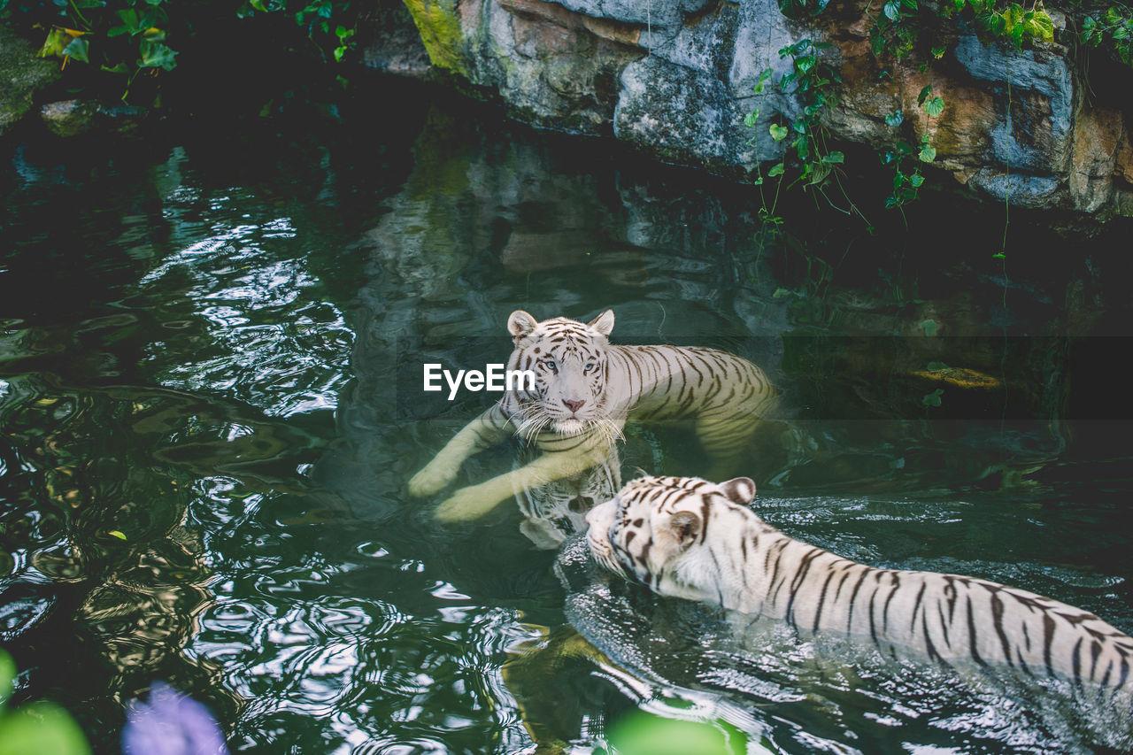 water, animal, animal wildlife, animal themes, animals in the wild, lake, vertebrate, mammal, big cat, nature, one animal, feline, waterfront, day, cat, swimming, no people, tiger, zoo, outdoors, white tiger