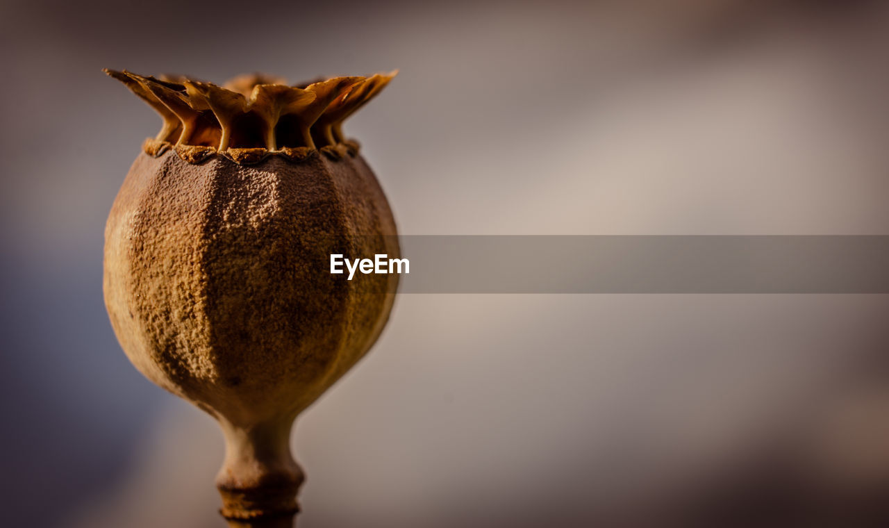 close-up, no people, food, still life, food and drink, freshness, selective focus, healthy eating, wellbeing, focus on foreground, fruit, indoors, beauty in nature, brown, single object, nature, day, growth, seed